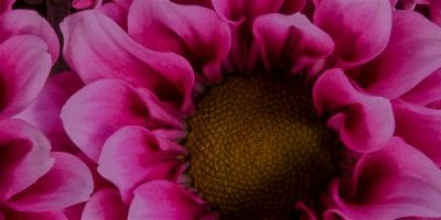 chrysanthemum_bg